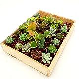 Mini-Sukkulenten im 3,5cm Topf - incl. Holzkiste, 30 Pflanzen