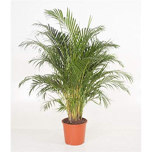 Goldfruchtpalme - Areca Dypsis Lutescens - Höhe  130-150 cm