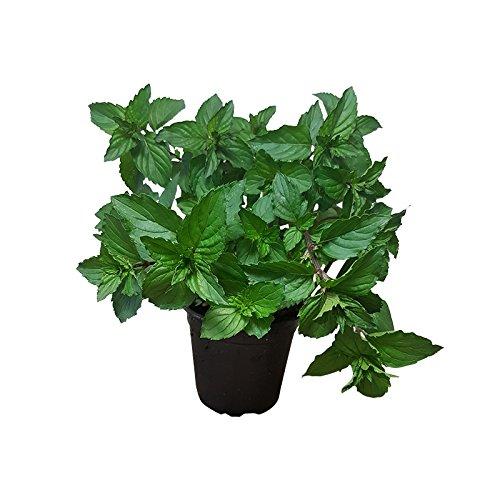Pfefferminze - frische Pfefferminz-Pflanze - duftendes Teekraut in Gärtnerqualität