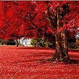 Pinkdose® 50 Partikel Schöne Japanische Rote Ahorn Bonsais, Diy Home & Amp; Garten Baum Bonsai