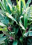 Future Exotics Musa VELUTINA Pflanzen Rosa Zwergbananen mit essbaren Früchten 50 - 60 cm