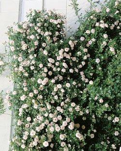 Kletterrose 'New Dawn' im 4 L Container von Rosen-Union eG. bei Du und dein Garten