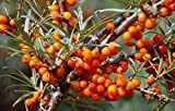 Pianta di Olivello Spinoso Femmina (varietà Leikora) - Hippophae Rhamnoides