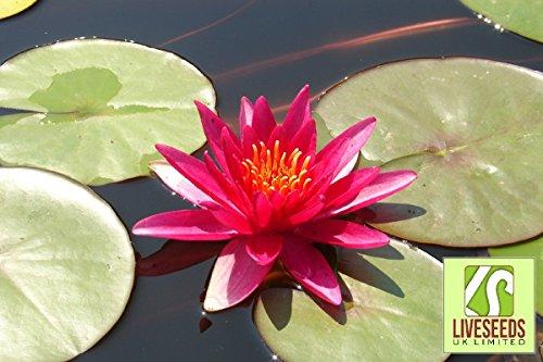 Galleria fotografica Liveseeds - 5 Blooming Red Lotus (Sacro Ninfea / Lily Pad / asiatico Acqua Lotus) semi di fiore