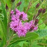 Büschelige Scheinaster ( Vernonia fasciculata )