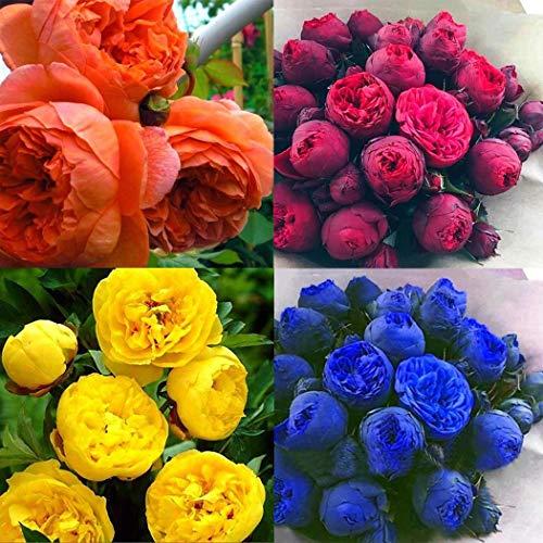 Cioler Seme di fiore- 20pcs Misto Raro Peonia Ranunculus Fiore Semi Giardino di Casa Fiore Sementi fiori ornamentali