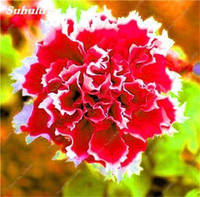 100 pcs / sac pétales de double Petunia Graines Bonsai Graines de fleurs Court Taille Jardin Fleurs Graines Pot intérieur ou Ourdoor usine 8