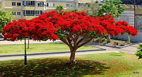 Flammenbaum (Delonix Regia) - 5 Samen - wunderschöner Baum sehr gut auch als Kübelpflanze