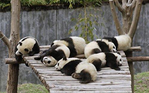 Panda (38x24 inch, 96x60 cm) Silk Poster Seta Manifesto PJ12-9503