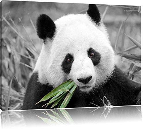 kuscheliger Panda frisst Bambus schwarz/weiß Format: 100x70 auf Leinwand, XXL riesige Bilder fertig gerahmt mit Keilrahmen, Kunstdruck auf Wandbild mit Rahmen, günstiger als Gemälde oder Ölbild, kein Poster oder Plakat - Insel Bambus-rahmen