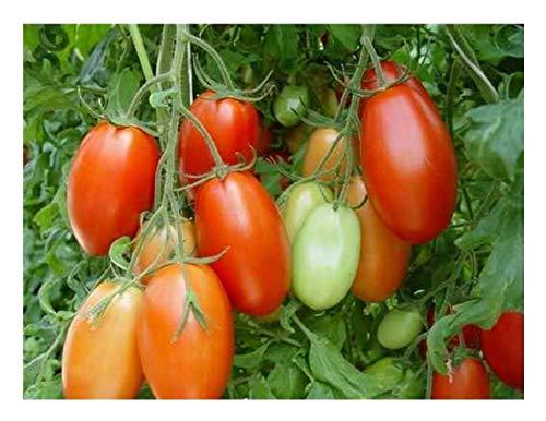 Premier Seeds Direct Marmade Grande Tomate enthaelt 200 Samen