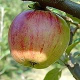 Gravensteiner, saftig süßer Herbstapfel, Buschbaum 80-120 cm Veredelungsunterlage MM 111