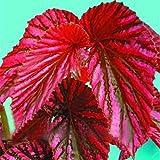 Yukio Samenhaus - 50 Stück Plectranthus scutellarioides Buntnessel auffällig Topfgarten Zimmerpflanzen