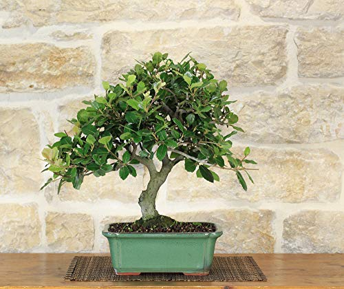 bonsai di quercia - leccio (39)