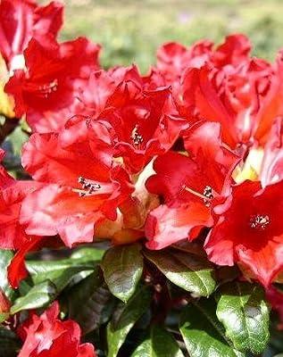 Zwerg Rhododendron repens Scarlet Wonder 20 cm hoch im 2 Liter Pflanzcontainer von Plantenwelt auf Du und dein Garten