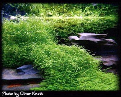 Tropica 1-2-GROW! Kleiner fleischfressender Wasserschlauch / Utricularia graminifolia von TROPICA