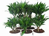 Dracaena comp.Compacta,Drachenbaum,Drachenlilie 60cm +/-