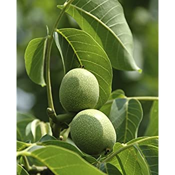 1x 4-5ft Sweet Almond Nut Fruit Tree Edible Sweet Nuts 5 Litre Potted Tree