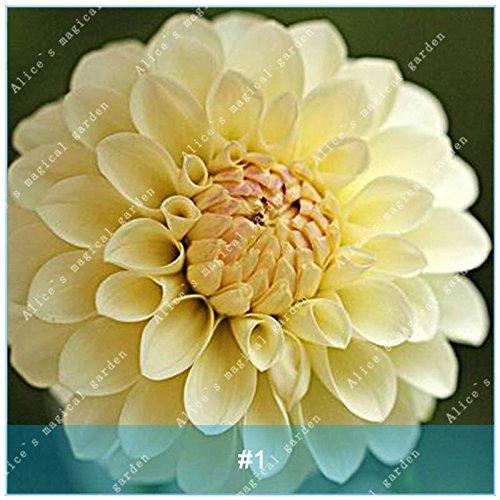 Galleria fotografica ZLKING 2 Pz cinese dalia Bonsai lampadina non Dahlia Semi facile da coltivare Bella Alto Tasso di germinazione di semi di piante in vaso 1
