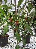 Buschige kleine Chili 'Piri Piri' (Capsicum annuum) 10 Samen