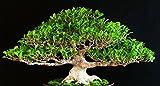 100 Samen chinesische Feige, ficus retusa, Tiger Bark Ficus, Bonsai geeignet