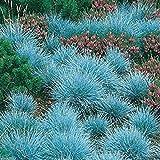 300 Blau-Schwingel, Ziergras Samen - Festuca Glauca - Perennial