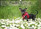 Prager Rattler (Wandkalender 2019 DIN A3 quer): Kleiner Hund mit ganz viel Herz (Monatskalender, 14 Seiten ) (CALVENDO Tiere)