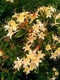 duftende Garten Azalee Rhododendron viscosum Lemon Drop 40 - 50 cm hoch im 5 Liter Pflanzcontainer