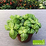 "Fittonia ""Mosaic Light Green"" [Vaso Ø8,5cm 