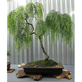 buddha baum 20 samen pappel feige ficus religiosa bonsai garten. Black Bedroom Furniture Sets. Home Design Ideas