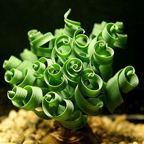 Brightup 10 Spiral Gras Samen Form Wie Frühling Interesse Bonsai Pflanze