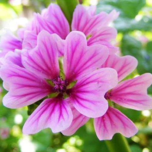 Malve-pflanze (Edited 50 Stü mehrjährige Kraut Malve Pflanze Garten schöne lila Blumensamen Blumensamen)