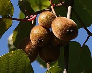 jenny kiwi selbstfruchtbar kiwistrauch busch actinidia arguta obstbaum winterhart kiwi braun. Black Bedroom Furniture Sets. Home Design Ideas