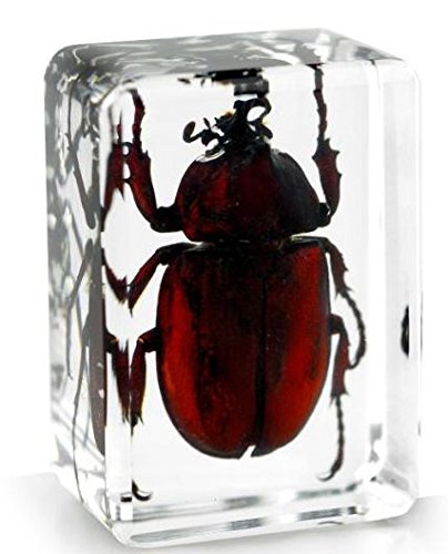 real-japanese-rhinocerous-beetle-insect-paperweight-specimen-small-block