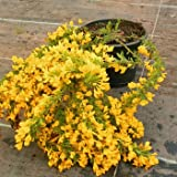 Kissenginster - (Cytisus decumbens) Containerware 30-40 cm