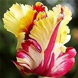 4 pezzi colore misto Bella raro pappagallo tulipano Bulbi giardino della casa Fiore Decor