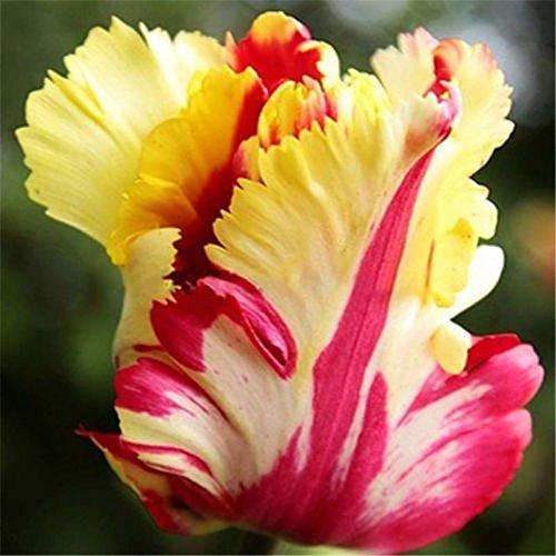 Galleria fotografica 4 pezzi colore misto Bella raro pappagallo tulipano Bulbi giardino della casa Fiore Decor