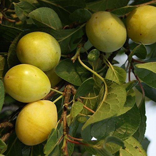Lippische Eierpflaume, robuste gelbe Pflaume 1jähriger Buschbaum 100-120 cm 7,5 Liter Topf, St.Jul.A