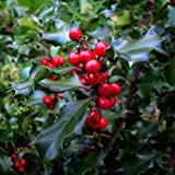 BEAUTIFUL PATIO HOLLY TREE -Superb Gift Perfect For Birthdays, Anniversays And All Other Occasions.