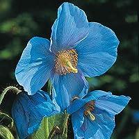 PlenTree 50 semillas Meconopsis Grandis amapola azul