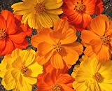 FLOWER COSMOS BRIGHT LIGHTS MIX 750 FLOWER SEEDS
