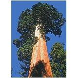 Tropica montaña secoya (Sequoiadendron gigantea) - 50 semillas