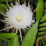 #7: Plantsworld Brahma Kamal - Saussurea Obvallata Live Plant