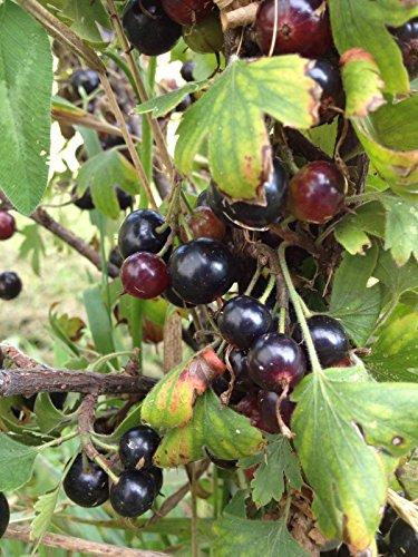15 Gelbe Blüte Black Currant Seeds -AKA Goldener Currant