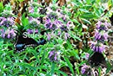 Vistaric 100 / bag Bio Minze Samen Nongmo Zitrone Bergamotte Samen Bio Kräutersamen Zitrone Minze Samen