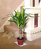 Life Improver Large Traditional Evergreen House Plants - Yucca