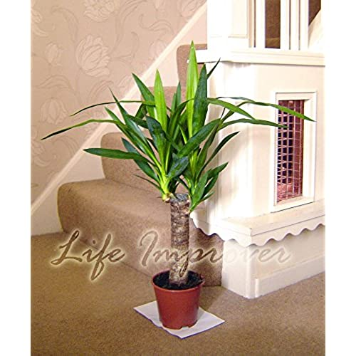 Large House Plants: Amazon.co.uk
