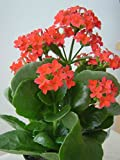 #8: M.D.Farm and Nursery Live Kalanchoe(Red Flowering) Plant.