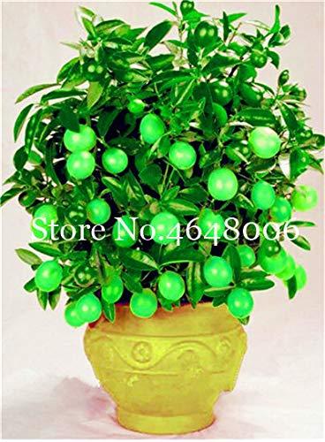 Bloom Green Co. 20 Stück Zitrone Bonsai New DrawF Baum Bio-Obst für Hausgarten liefert einfache Exotic Citrus Bonsai Topfbaum Fresh Anlage wachsen: 7 -