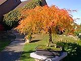 Lace Blatt Japanischer Ahorn, Acer palmatum dissectum, 30 Baum-Samen (Fall-Farbe, Bonsai